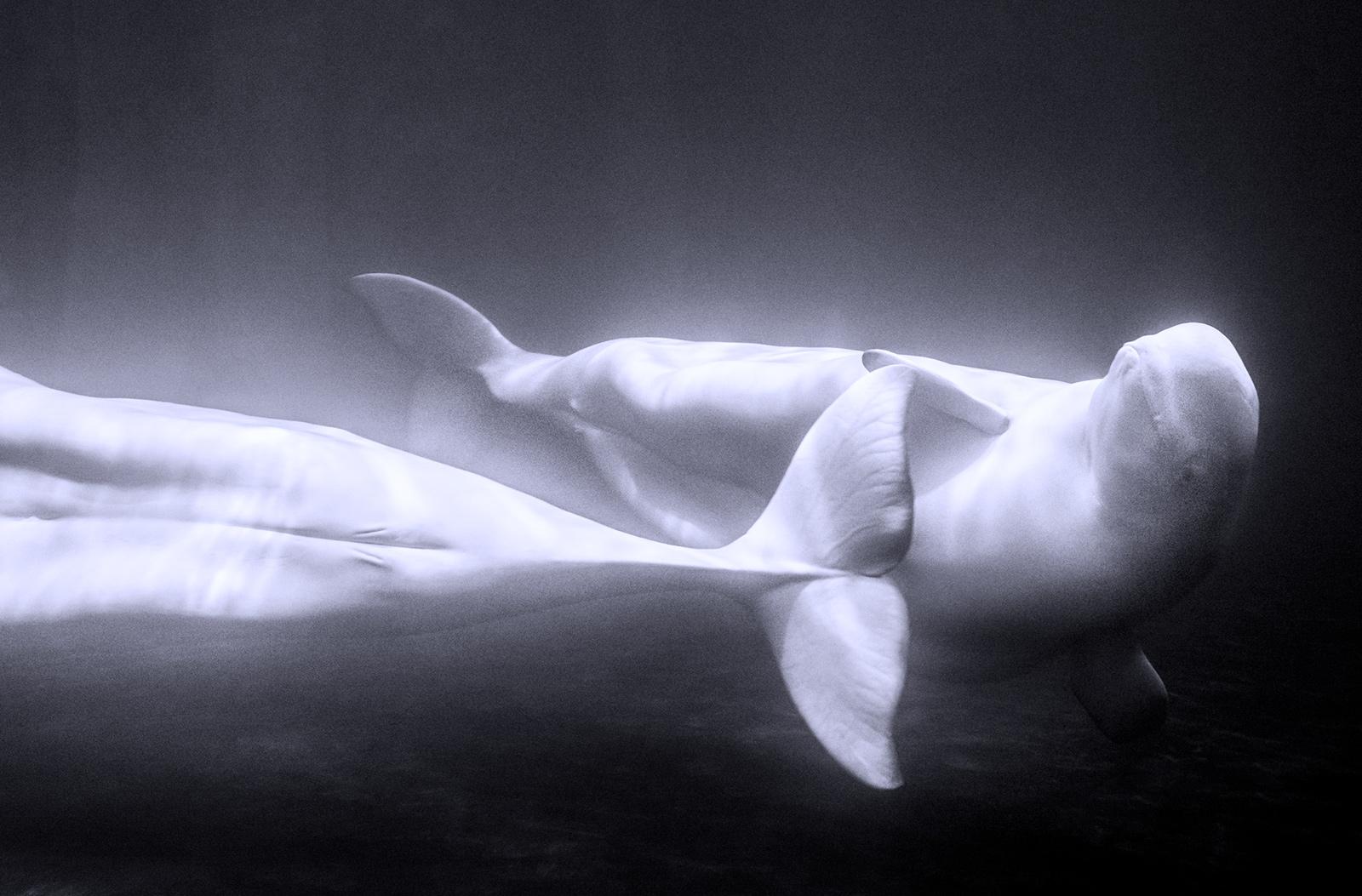 VOGUE US Beluga Whale Sanctuary